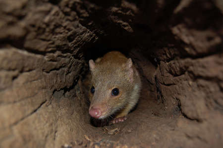 quoll sitting in log Stock Photo