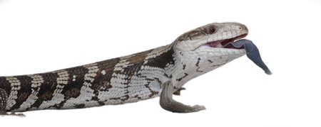 Blue Tongue lizard isolated by white photo