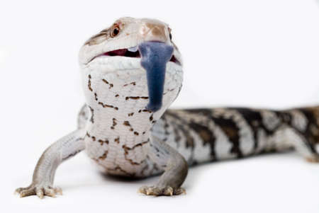 Blue Toung Lizard Isolated By White