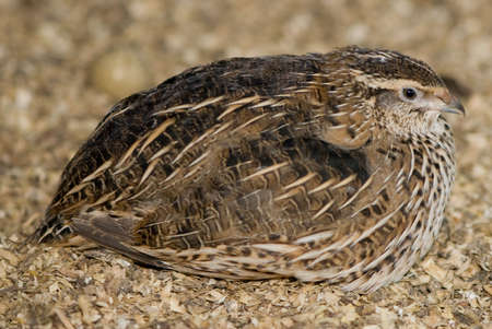 Sitting Quail alone Stock Photo
