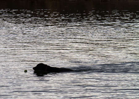 fetch: silhouette of black dog swimming to fetch a tennis ball in a pond Stock Photo