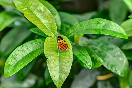 The lush tropical green leaves provide a haven for this butterfly