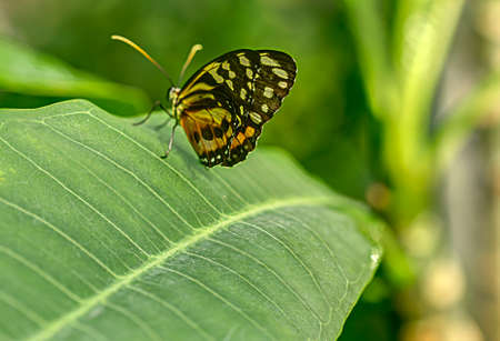 landing strip: A large green leaf provides a landing strip for this colorful butterfly