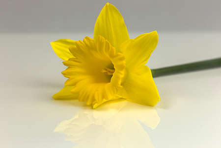 Muted reflection of a daffodil shows its vivid yellow color Фото со стока