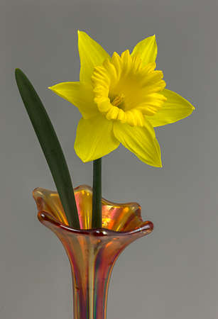 Showing its bright yellow color a daffodil bloom in a vase. Фото со стока