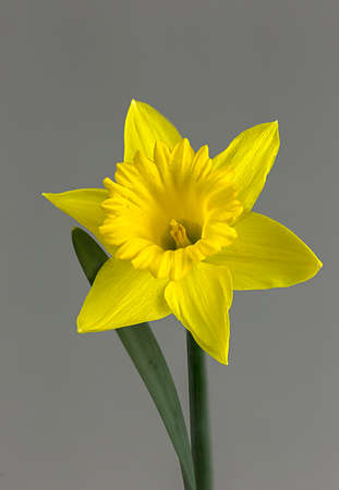 Spring daffodil shows why it is such a special yellow flower