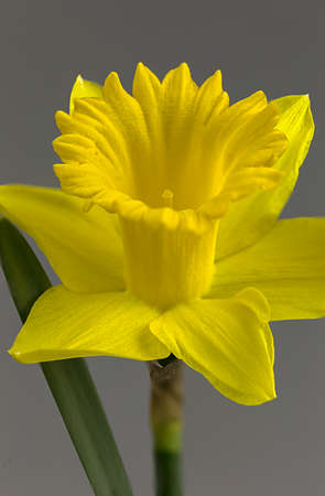 Delicate yellow daffodil shows off its splendor