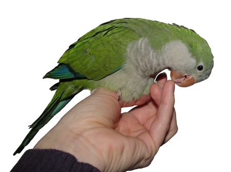 quaker parrot sitting on a hand