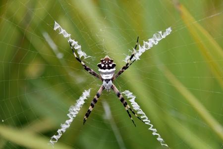 arachnoid: Un ragno tigre in una web