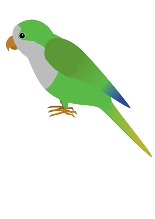 quaker: An illustration af a quaker parrot Illustration