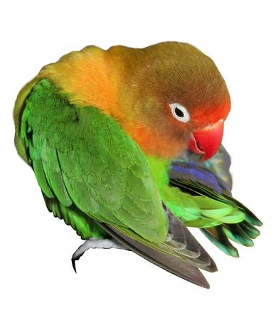 preening: A preening Fisheri lovebird