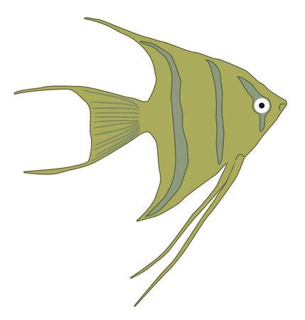 gill: Angelfish