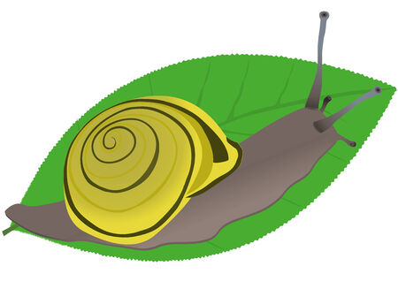 mollusc: A snail Illustration