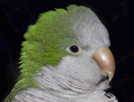 quaker: Parrot portrait Stock Photo