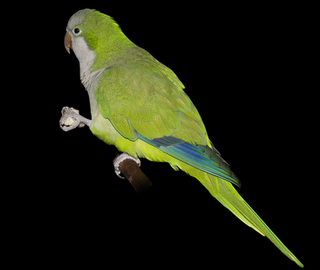 quaker: parrot Stock Photo