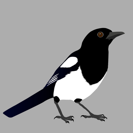 Magpie illustration on gray background.