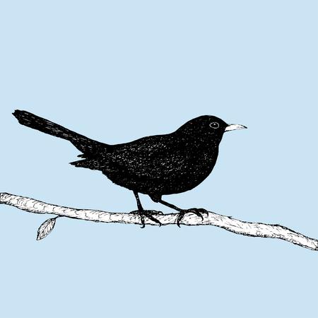 Blackbird pen drawing Illustration