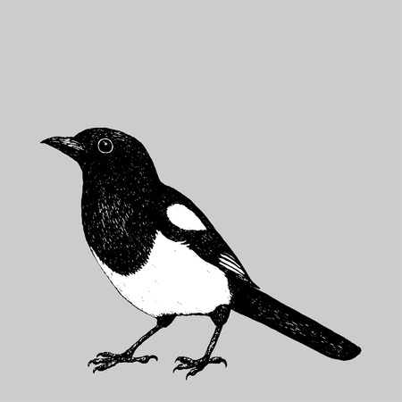 A pen drawing of a magpie. Digitized.