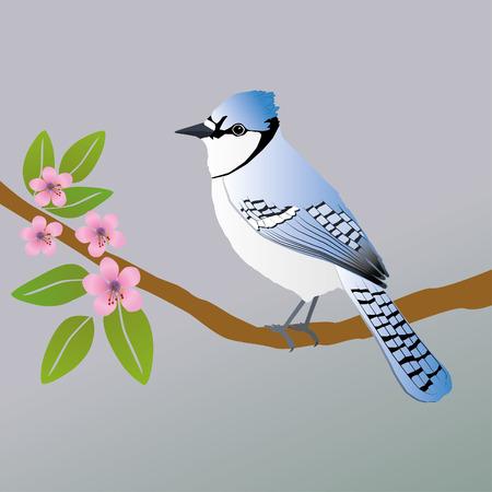 A blue jay bird