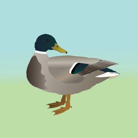 Male wild duck