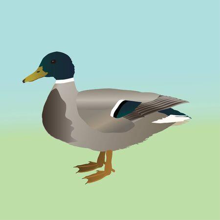 Male wild duck 版權商用圖片 - 130499290