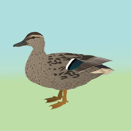 Female wild duck