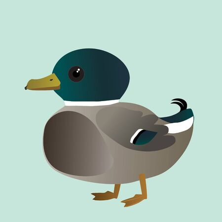 A vector illustration of a of very cute mallard. It is a male duck.