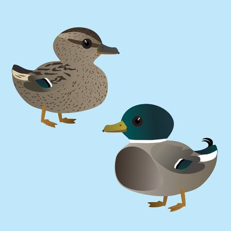 A vector illustration of a couple of very cute mallards. It is a male and a female duck
