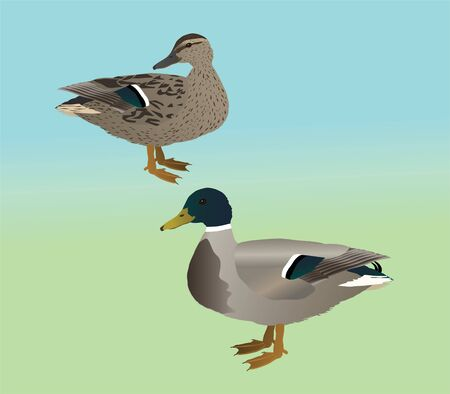 A vector illustration of a couple of mallards. It is a male and a female duck.