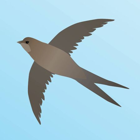 A vector illustration of a common swift. He's flying in the air. The sky is blue. Illustration