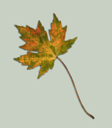 A picture of a cut out maple leaf from a white maple tree. The leaf is with orange spots. Autumn leaf 免版税图像