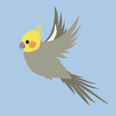 A gray male cockatiel in flight