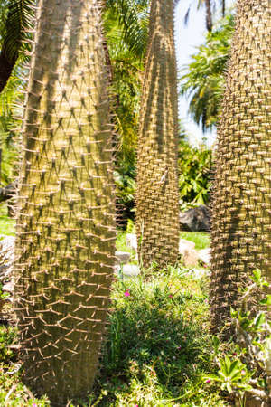 cereus: Cactus trunks in  Rama 9 National Garden, Bangkok, Thailand