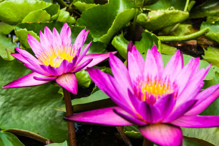 Two pink lotuses in the swamp photo