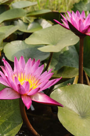 The pink lotus and green leaves in the swamp, photo