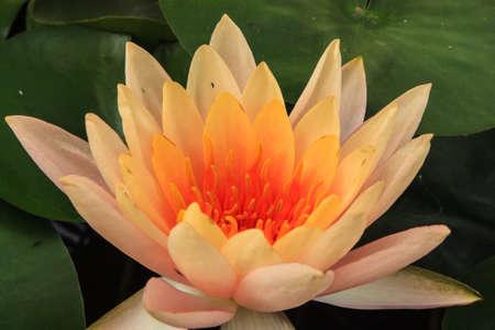 Big lotus flower stock photos royalty free big lotus flower images close up white lotus flower in the lake mightylinksfo