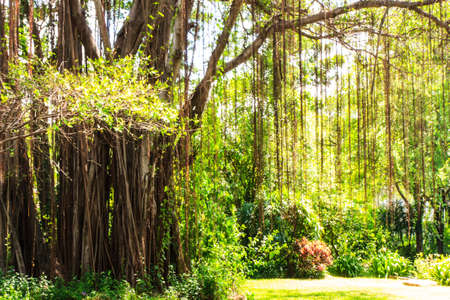 Root of banyan tree in public garden with sunlight  photo