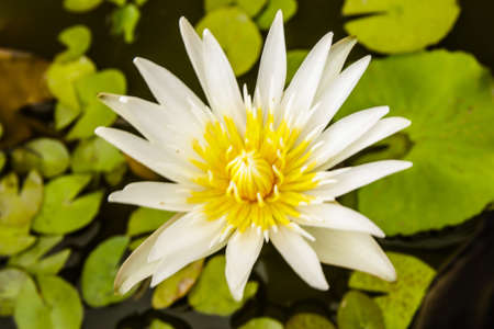 White water lotus flower with yellow Stamens and green leaves photo