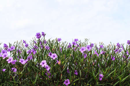 petunia wild: Violet ruellia flower with blue sky Stock Photo