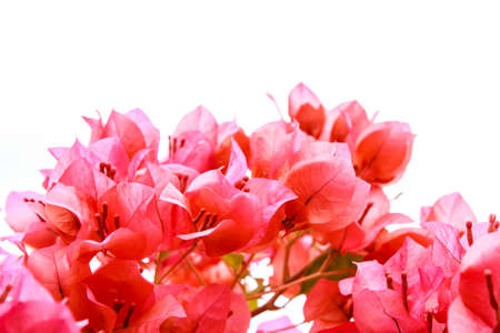 Pink Bougainvillea  on white background photo