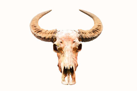 Buffalo skull isolate on white background photo