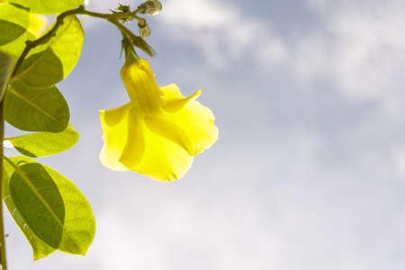dipladenia: Giallo Mandevilla Fiori e foglie verdi con cielo blu Archivio Fotografico