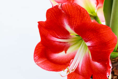 hippeastrum flower: Close up Hippeastrum johnsonii flower Stock Photo