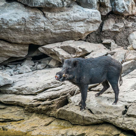 wild black boar stand on rock Stock Photo