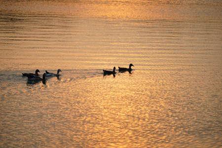leisurely: ducks