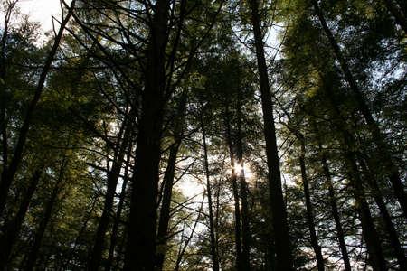 zon door hemlocks Stockfoto