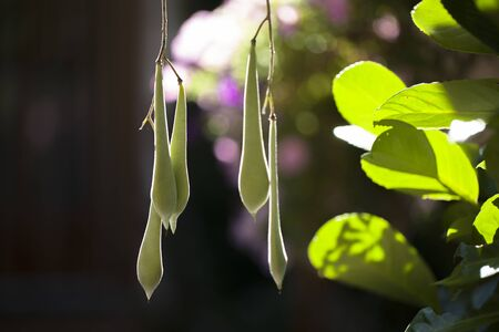 Wisteria pods hanging in the sunlight lightened from the back.