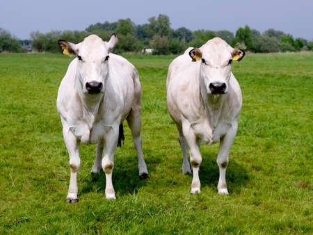 Two white cows facing straight ahead