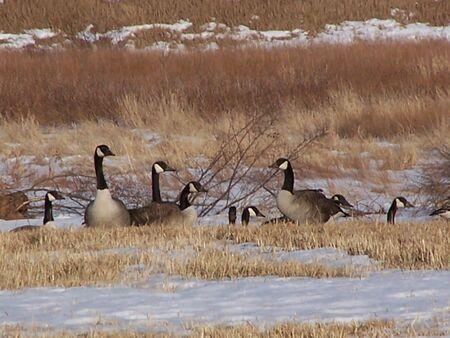 cautious: Cautious Canada Geese Stock Photo