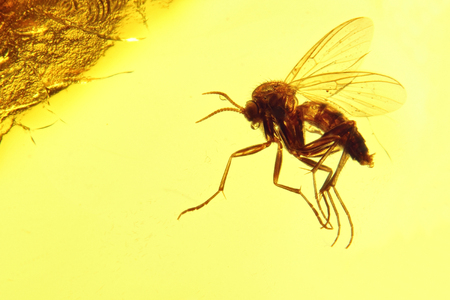 gnat: Fungus gnat Mycetophilidae imprisoned in Baltic Amber